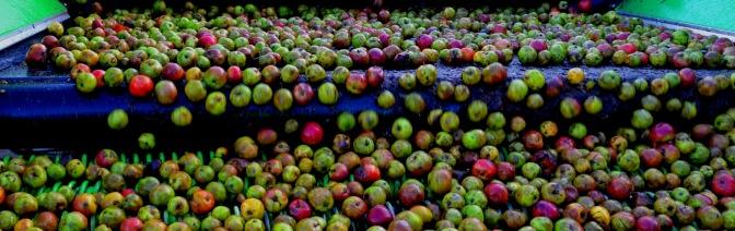 ApplesOnConveyor-Landscape2