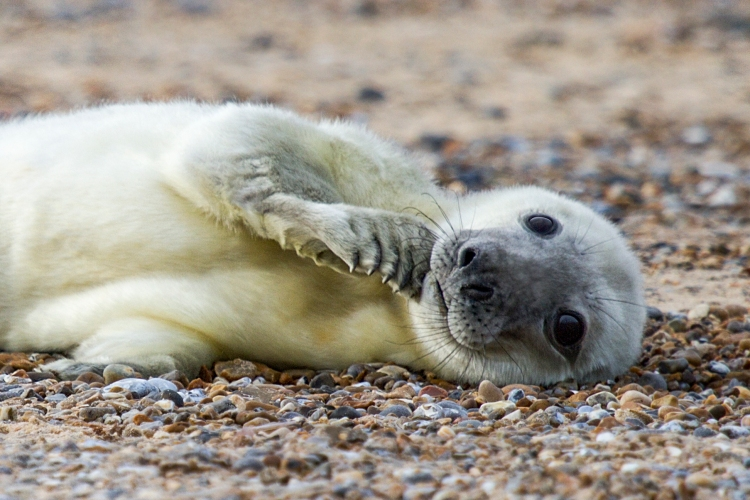 Blakeney point seal pup (credit) National Trust Justin Minns